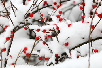 Red berries covered with snow - winter time