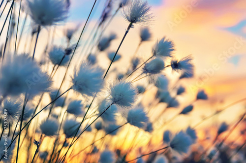 Leinwanddruck Bild Cotton grass on a background of the sunset sky