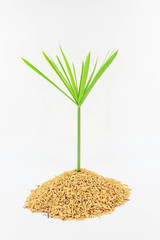 Plant and grain of rice