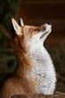 Fuchs blickt auf - 75303313