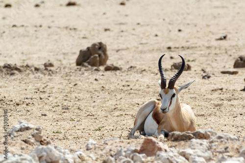 Foto op Canvas Antilope Portrait of Springbok Antidorcas marsupialis