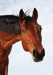 Headshot of a bay horse wintertime