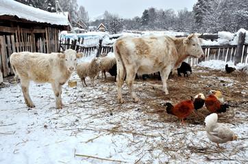 Коровы, овцы, куры зимой на скотном дворе