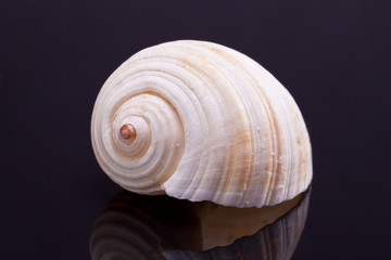 single seashell in black background with reflection