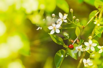 Marienkäfer auf blühendem Zweig, Frühling