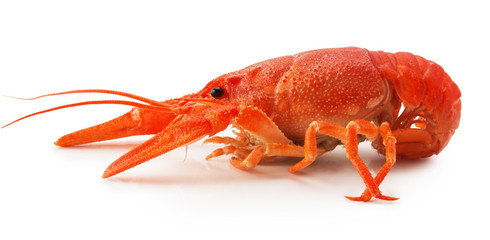 red lobster isolated on the white background