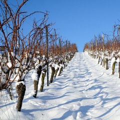 Tye vineyard in winter