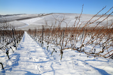 The vineyard in winter. Germany.