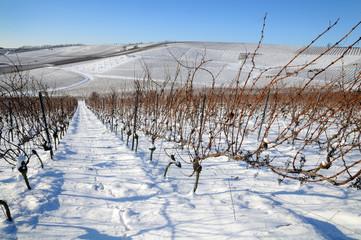 The vineyard in winter. Germany.