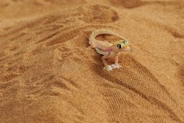 Namibgecko (Pachydactylus rangei)