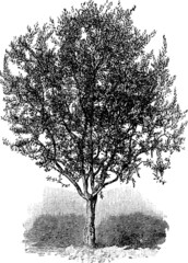 Vintage graphic olive-tree