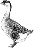 Vintage picture Farm goose