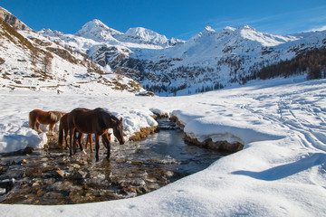 horses go drinking in a frosted creek