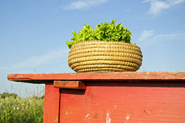 fresh ecological lettuce leaves in wooden basket on red table
