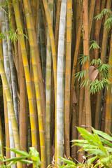 bambous géants, île de la Réunion, Hell-Bourg