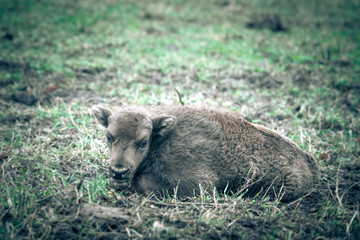 Bison calf lying on the grass. Tinted