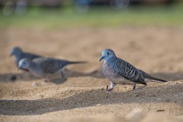chinese spotted dove bird on hawaiian beach
