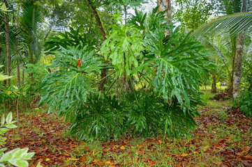 Big leaves of lacy tree philodendron