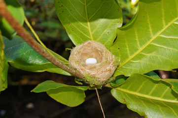Hummingbird nest with one egg