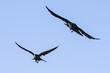 Corvi in volo