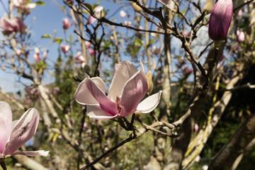 magnolia, pink magnolia flower in nature