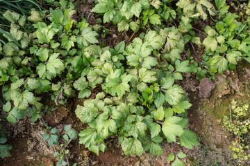 cilantro, fresh green cilantro growing in plantation, Thailand