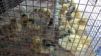 group  little yellow ducklings in metal cage, Mumbai market