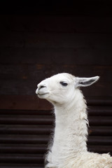 The head  of white llama