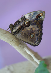 Butterfly Morpho Peleus on a branch