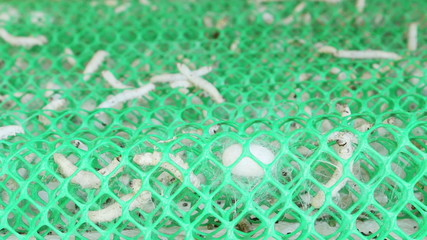 Macro close up,Silk worms make the floss in nest.