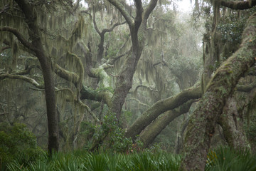 Trees with Spanish Moss haning from the branches