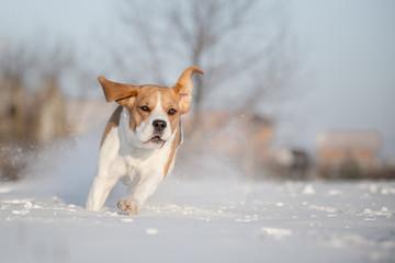 Beagle dog in snow
