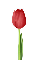 single red valentine's day red dutch tulip with white background