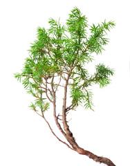 green juniper on white