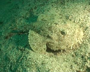 Anglerfish Lophius Piscatorius Norway underwater video