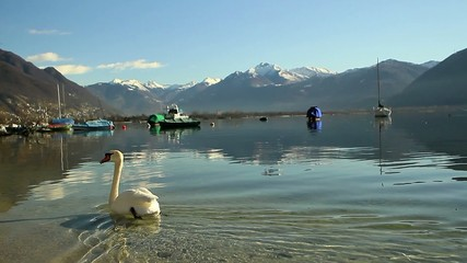Swan swimming on beautiful lake