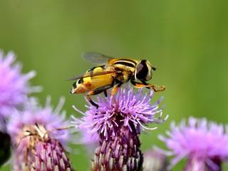 Biene auf Ackerkratzdistel