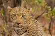 Leopard - South Africa
