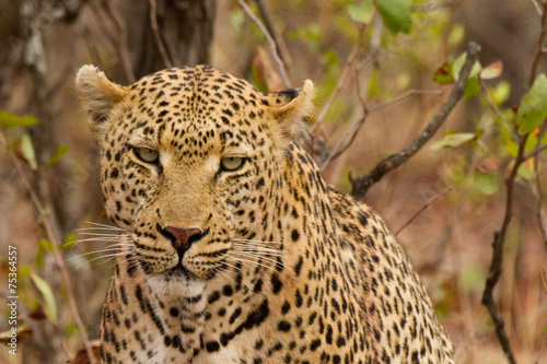 Fotobehang Luipaard Leopard - South Africa