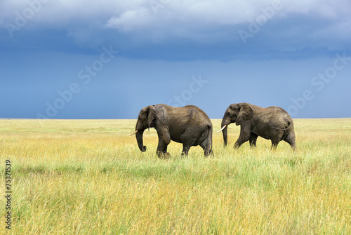 Foto op Canvas Olifant African elephants