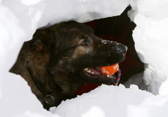 Mountain Rescue Service German Shepherd