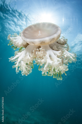 Cassiopea Jellyfish and Sunlight
