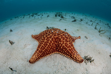 Red Starfish in Caribbean