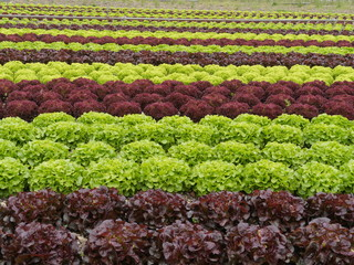 lettuces rows