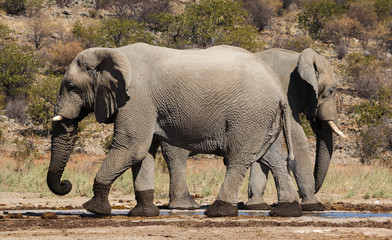 Two Elephants in front of Dolomite Camp, Etosha, Namibia