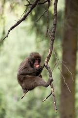 macaco che mangia