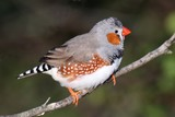 Zebra Finch Male