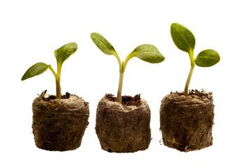 Three Baby Squash Plants
