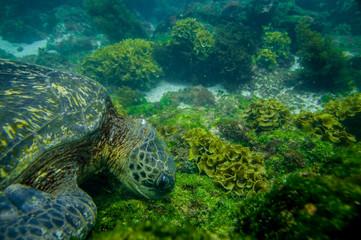 marine turtle swimming underwater