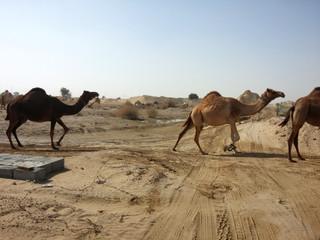 Cames on desert